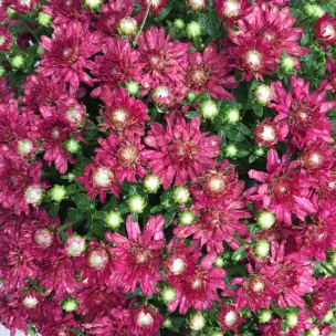 Fall Beautiful Mums
