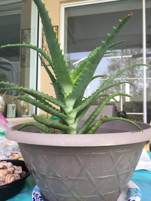 Aloe Plant In My Old Planter Pre Seashell Renovation